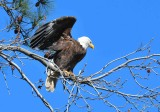 1075  Bald Eagle  Blackwater MWR Md 03-28-15.jpg