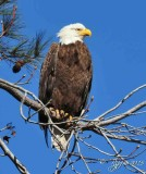 1066  Bald Eagle  Blackwater MWR Md 03-28-15.jpg