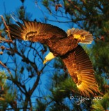 1100 Bald eagle Blackwater 11-13-15.jpg