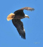 1329   Bald Eagle Mason Neck 02-27-16.jpg