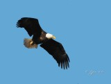 1340   Bald Eagle Mason Neck 02-27-16.jpg