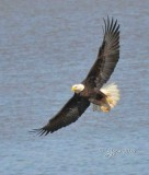 1336   Bald Eagle Mason Neck 02-27-16.jpg