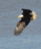 1337   Bald Eagle Mason Neck 02-27-16.jpg