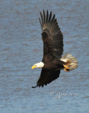 1338   Bald Eagle Mason Neck 02-27-16.jpg