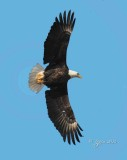 1342   Bald Eagle Mason Neck 02-27-16.jpg