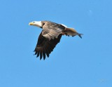 1351   Bald Eagle Mason Neck 02-27-16.jpg
