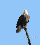 1353   Bald Eagle Mason Neck 02-27-16.jpg