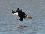 1356   Bald Eagle Mason Neck 02-27-16.jpg