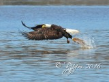 1804    Bald Eagle  Mason   Neck  03-01-2016 1.jpg