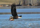 1813    Bald Eagle  Mason   Neck  03-01-2016 1.jpg