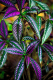 Purple Leaves RD-722 37989