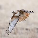 Red-tailedHawk_2014May04_2114.jpg