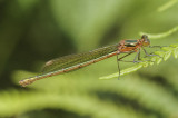 Emerald Damselfly (Lestes sponsa)