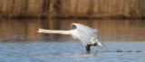 Swans / Svanar