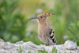 Kingfisher, Hoopoe / Kungsfiskare, Härfågel