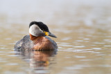 Divers & Grebes / Lommar & Doppingar
