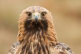 Golden Eagle / Kungsörn