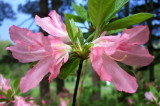 'Magic Lily'