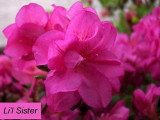 'Li'l Sister'