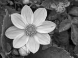 07_2014_White Dhalia BW 287.jpg