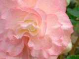 09_2015_pink begonia 0972.jpg