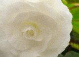 09_2015_white begonia watercolor 1006.jpg