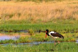 AFR_6017  Saddlebilled Stork