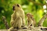 AFR_6039 Vervet Monkey