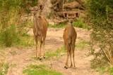 AFR_6047 Greater Kudu