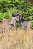 MBO_6853 2 Kudu Bachelor Bulls