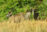MBO_6863 2 Kudu Bachelor Bulls