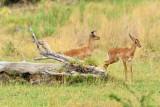 AFR_5875 Impalas