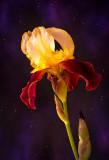 Starry Night Iris