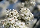 Blooming Bradford Pear Tree