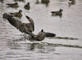 Water Fowl (Nikon 200-500)