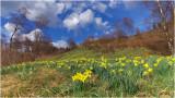 Daffodils in the Eifel