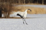 red_crowned_crane