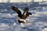 stellers_sea_eagle