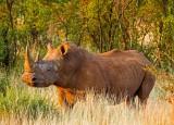 The Rhinoceros