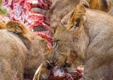 The Lions on Prey