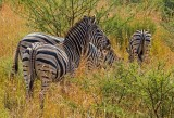 The Zebraes