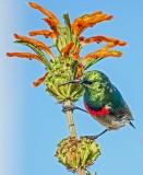 The Colibri