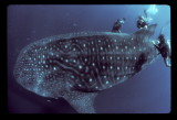 BAJA anne on whale shark dorsal