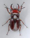 Reddish-brown Stag Beetle - Lucanus capreolus