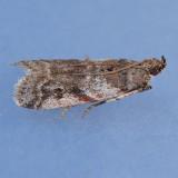 5949  Laetilia coccidivora