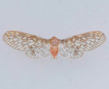 Mysidia mississippiensis