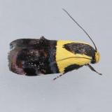 Oecophoridae - Cosmopterigidae (855-1680)