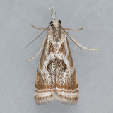 5420 Elegant Grass-veneer - Microcrambus elegans
