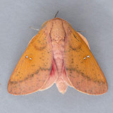 7709 Honey Locust Moth - Sphingicampa bicolor