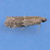 6032  Eurythmia angulella